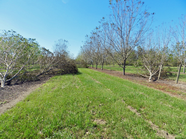 Hurricane Michael Pecan Damage