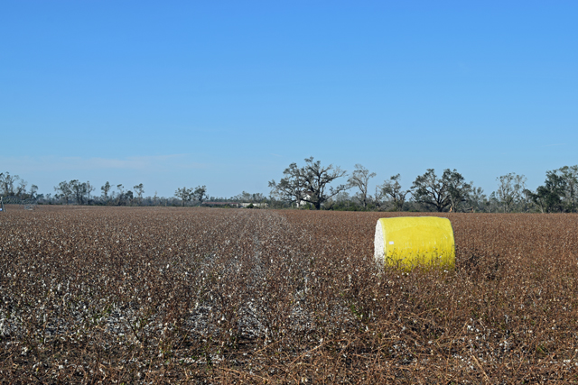 Jackson Co Cotton blown on the ground by Hurricane Michael