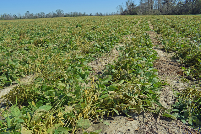 Soybeans flattened by Hurrican Michael in Jackson County