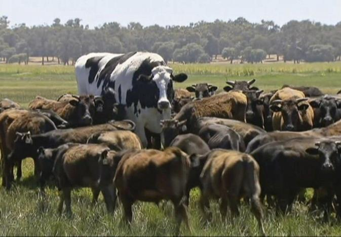 Friday Feature: Knickers the Giant 6'4″ Australian Steer
