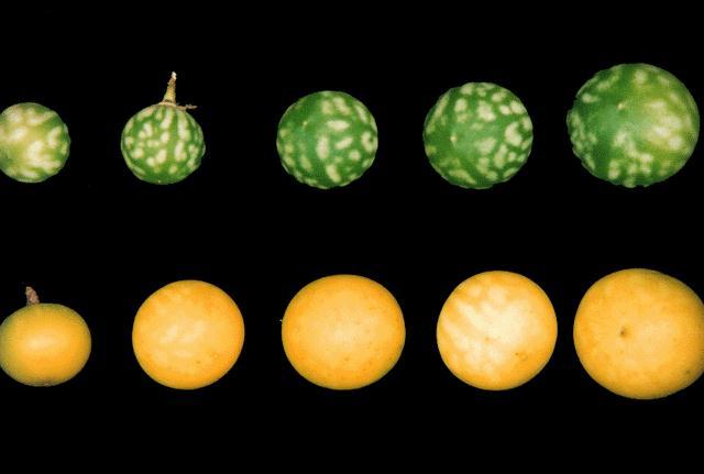 TSA Fruit