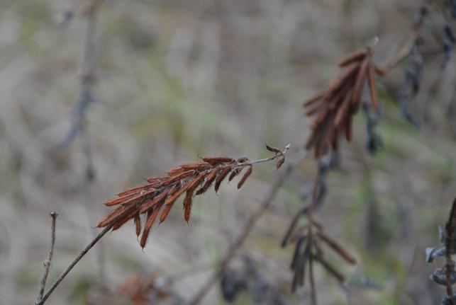 Creeping indigo seed head