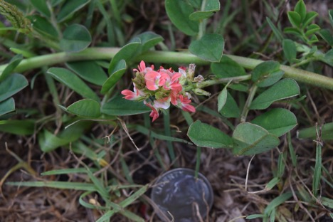Creeping Indigo Flower