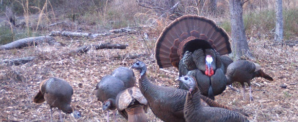 Friday Feature:  Cooking Florida Wild Turkeys
