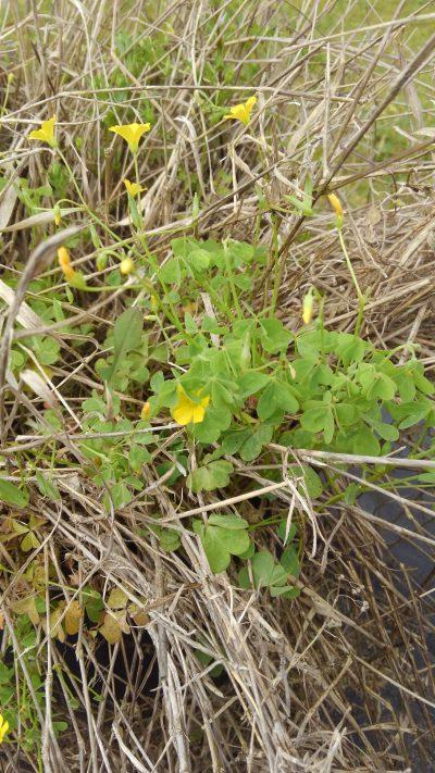Yellow Woodsorrel plant