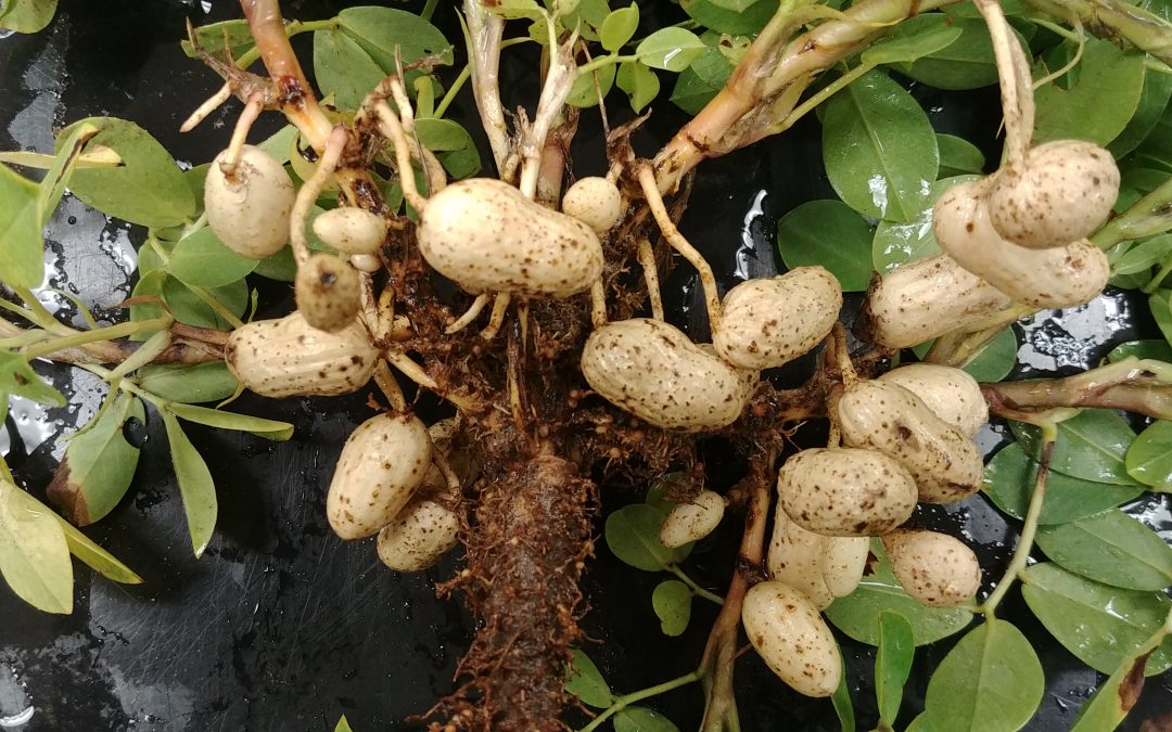 Recognizing and Managing Sting Nematode Problems in Peanuts