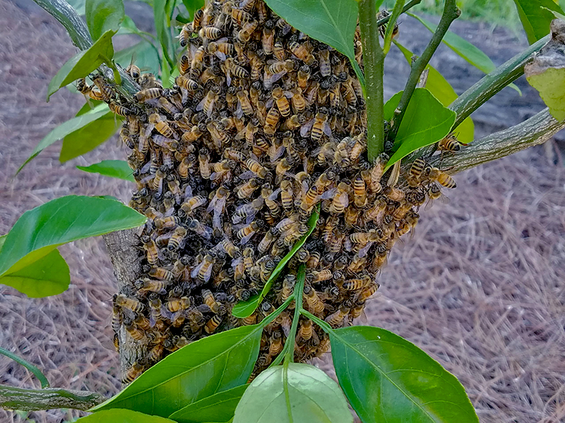 Preventing and Removing Honeybee Swarms