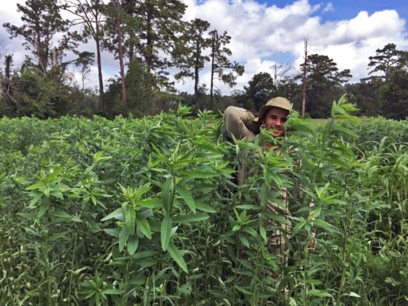 Sunn Hemp: A Fast Growing Annual Forage Legume