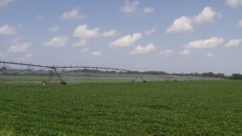 Peanut field being irrigated.