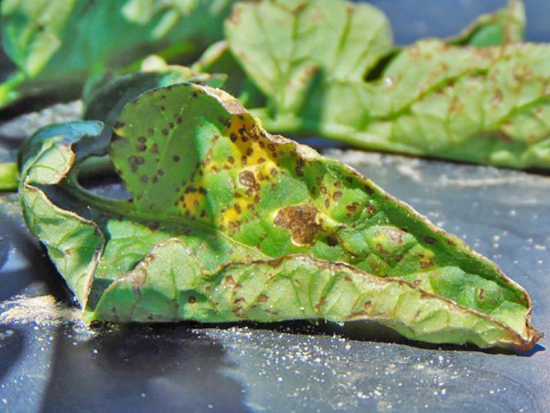 Tomato Disease Observations in North Florida this Spring