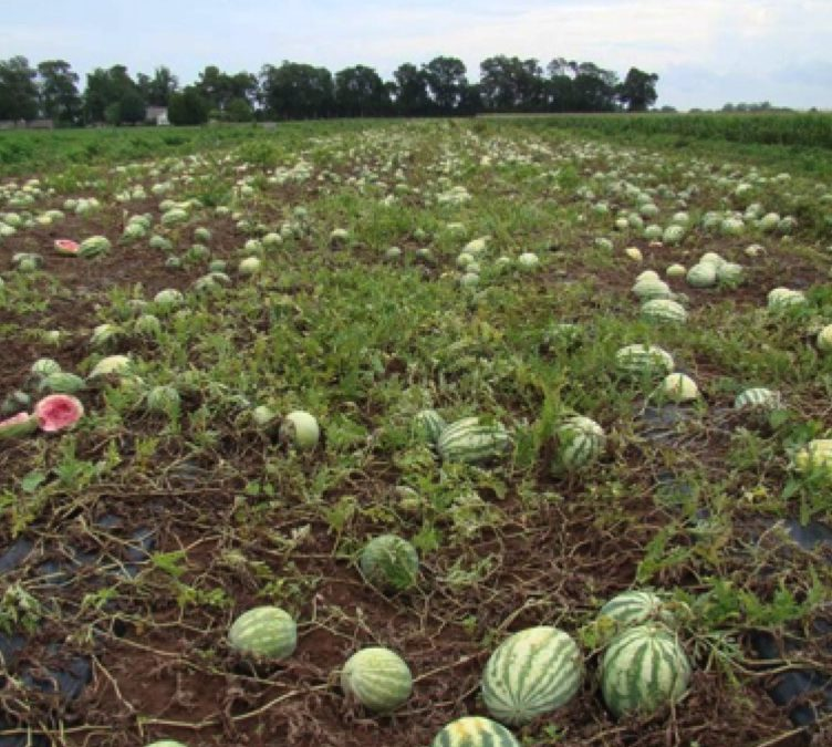 Gummy Stem Blight Affecting Watermelons in Jackson County
