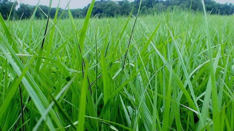 Myriogenospora atromentosa stroma on Argentine bahiagrass