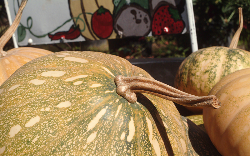Seminole Pumpkin – A Crop for the Back Forty or Agritourism
