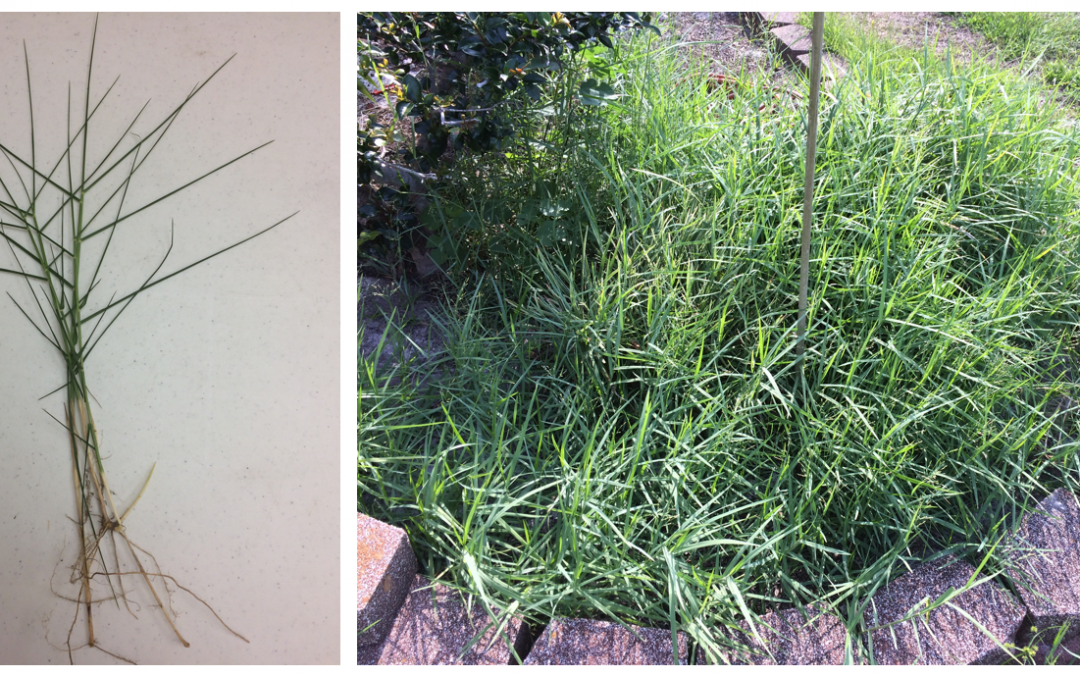 Torpedograss Slowly Attacking the Panhandle