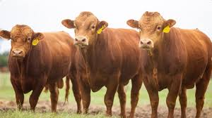 akaushi bulls