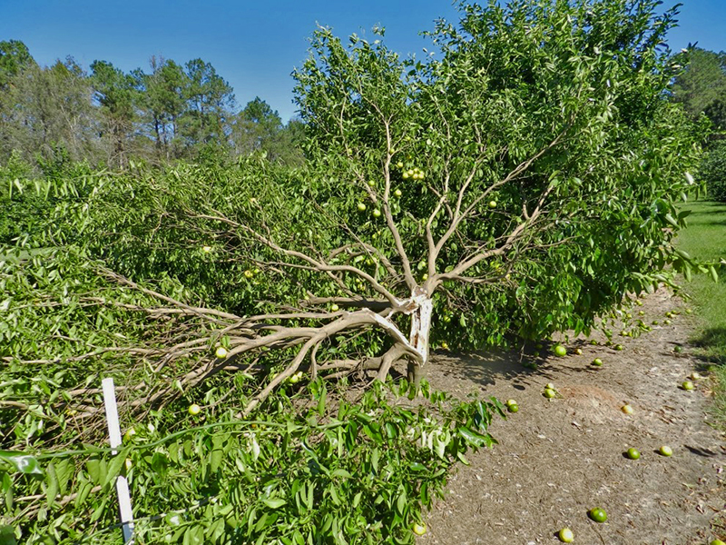 Impact of Hurricane Winds on Citrus Varieties Being Evaluated in Quincy