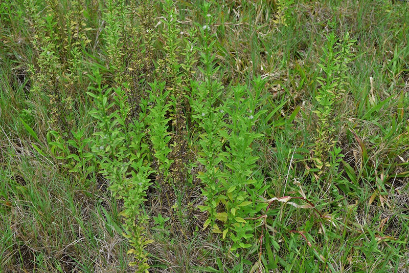 Goatweed Control in Pastures and Hayfields