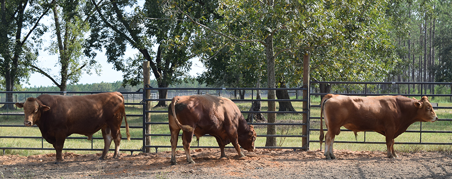 Friday Feature:  Akaushi Cattle in Walton County