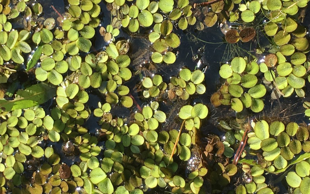 Pond Weed Control – Common Salvinia