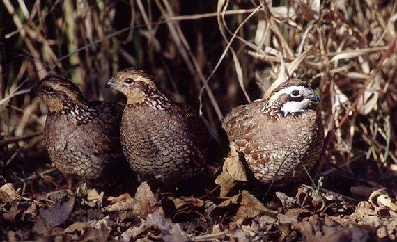 quail trio