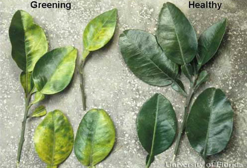 Keep an Eye Out for Citrus Greening this Winter