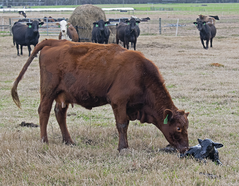 The Importance of the Calving Distribution for Cow-calf Operations