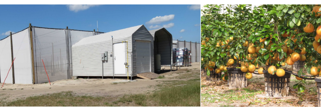 Citrus Producers Utilizing Screen Structures to Minimize Greening