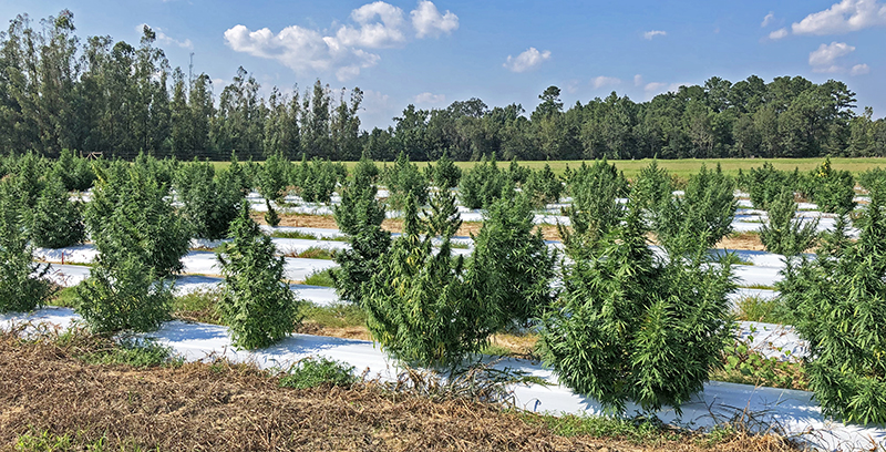 First Year of Industrial Hemp Research in North Florida Completed