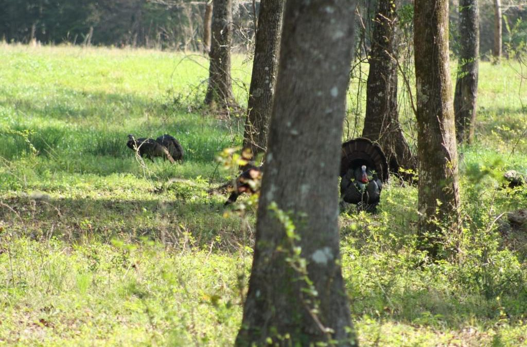 Wild Turkey Biology and Habitat Management