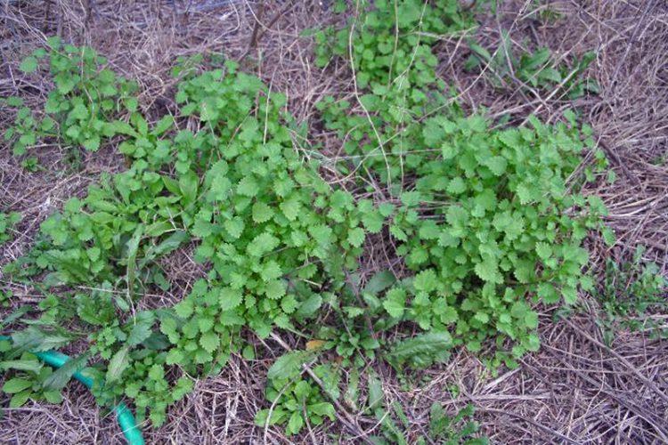 Fireweed plants