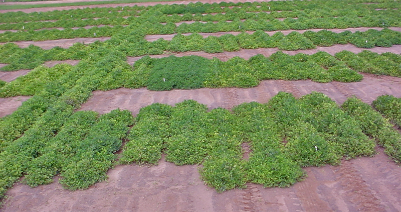 Don't Be Surprised by Spotted Wilt Virus in 2020 Peanut Fields