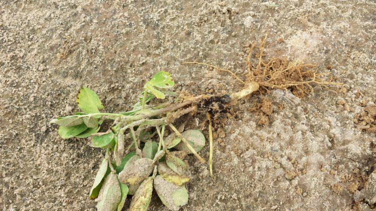 Aspergillus Crown Rot on Peanuts