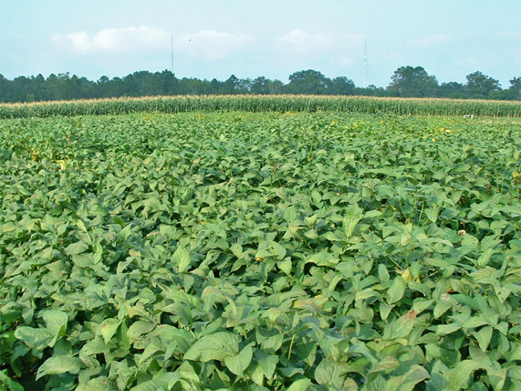 Annual Warm-Season Legumes for Pastures, Cover Crops, or Wildlife