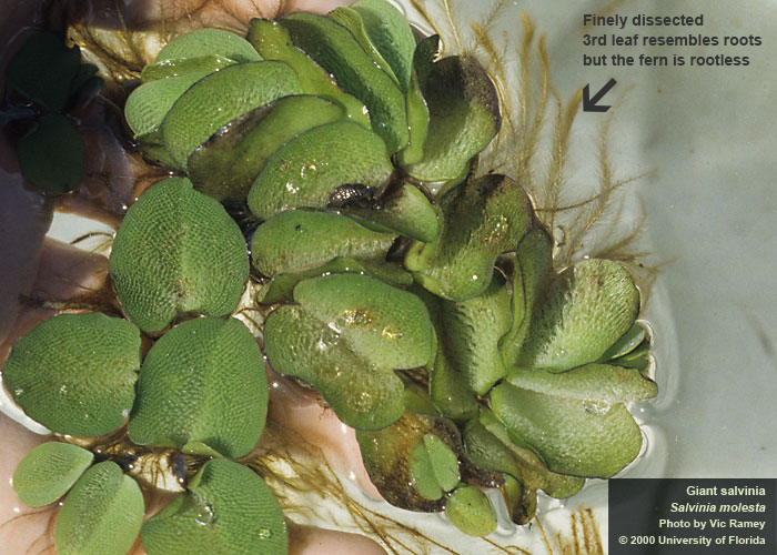 Giant Salvinia – A Highly Invasive Aquatic Plant You Don't Want Growing in Your Pond