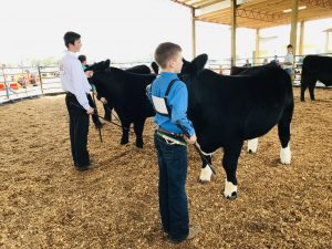 4-H youth showing cattle