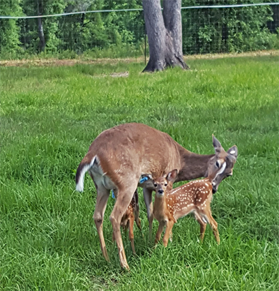 UF/IFAS is Working Closely with Deer Farms in Northwest Florida