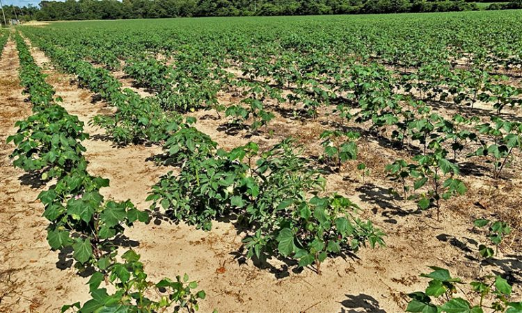 Important Considerations for Dicamba Application in Dicamba Resistant Crops
