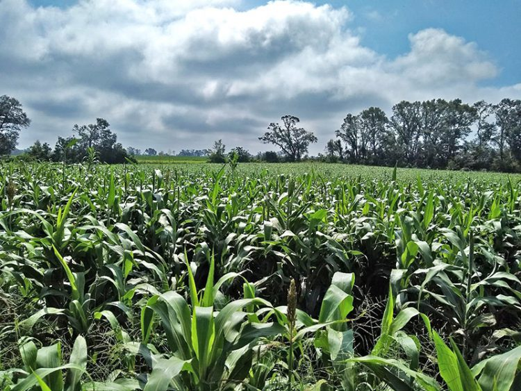 Sorghum Silage –  A Cost-effective Alternative for Backgrounding Weaned Cattle