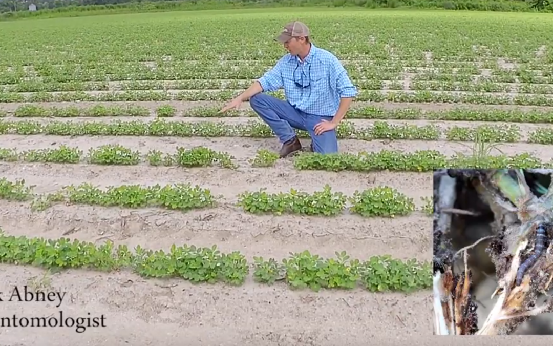 Featured Video:  Early Season Scouting for Lesser Cornstalk Borer in Peanut