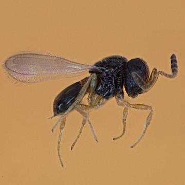 Adult parasitoid wasp that preys on kudzu bugs.