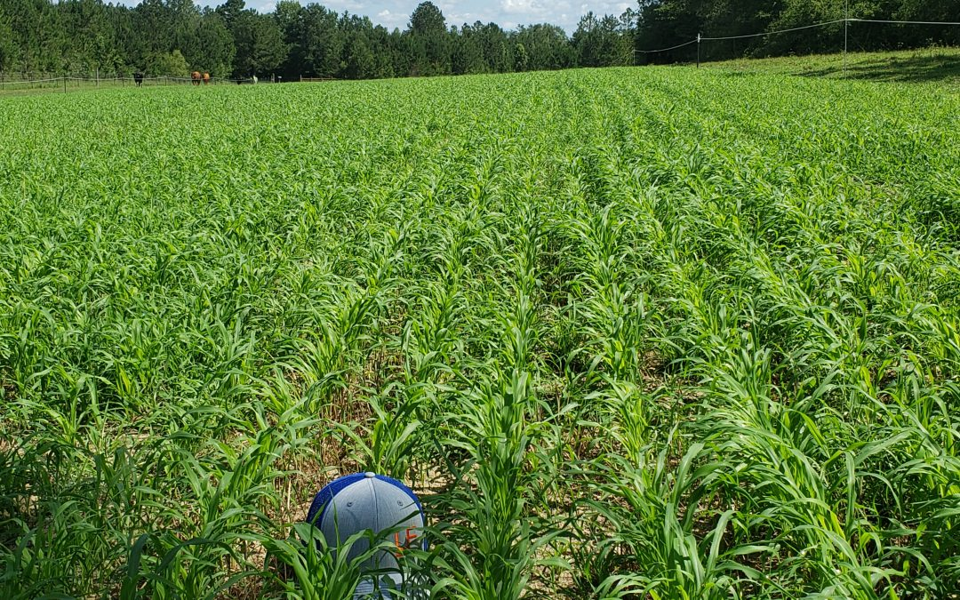Utilizing Pearl Millet More on Cow-Calf Operations