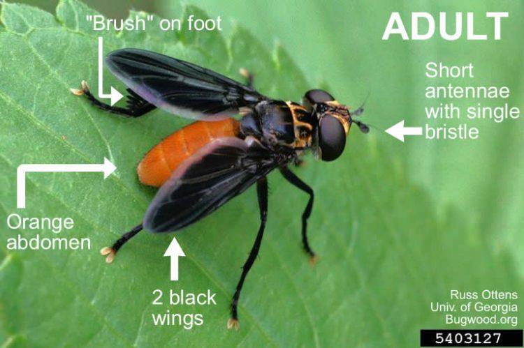 Adult Trichopoda pennipes