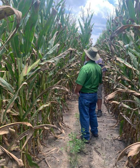 Investigating a Rapid Decline in North Florida Corn Fields