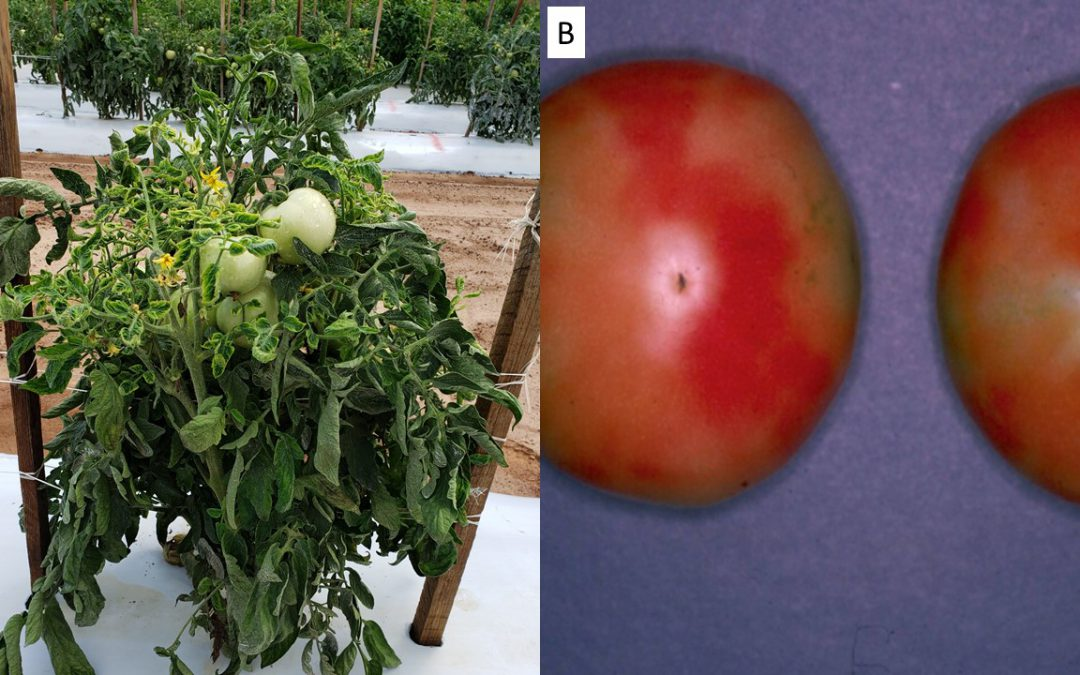 Get Ready for Whitefly Season in Fall Vegetables this Year