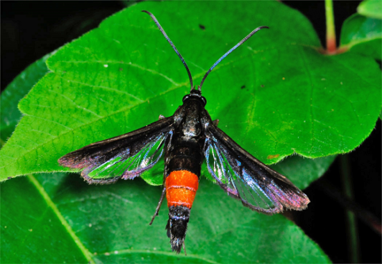 Clearwing Moth – Insect Pest of Peaches and Olives