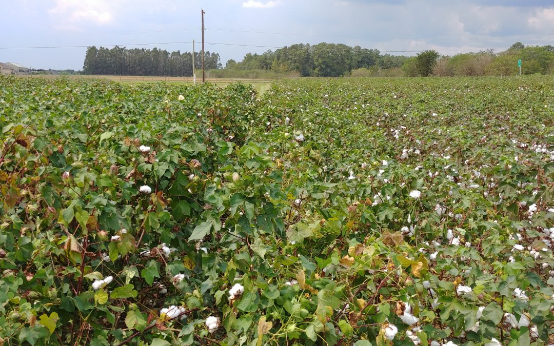 Should Crop Rotation History Influence Nematicide Application Choices for Managing Reniform Nematode in Cotton?