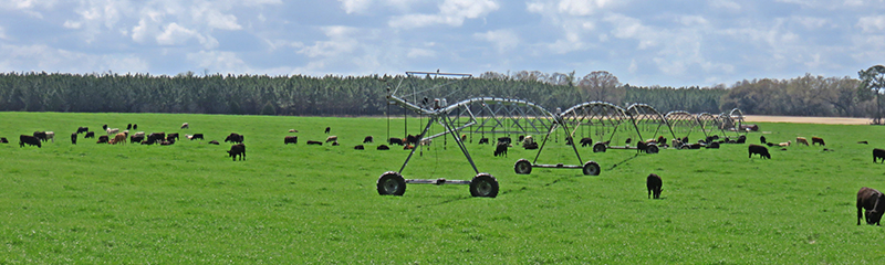 Stocker cattle grazing irrigated crop land in Jackson County