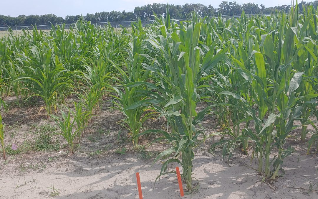 Rotation Crops for Managing Nematodes in Corn-Intensive Operations