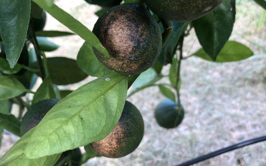 Watch for Citrus Rust Mite