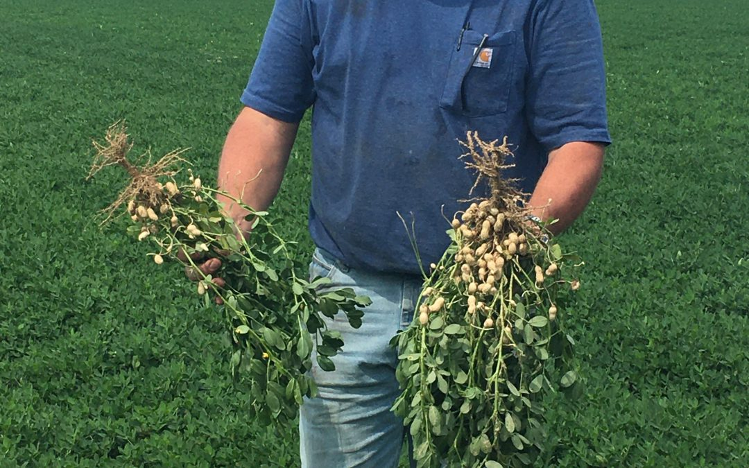 Testing Apogee Plant Growth Regulator in Dryland Peanut Fields